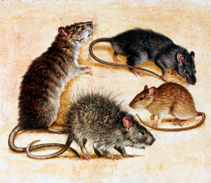 picture-of-rats